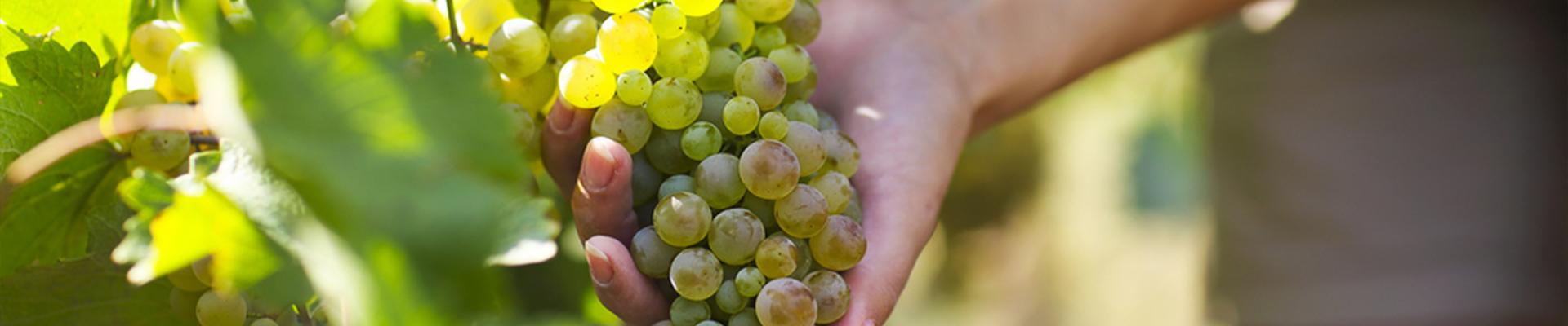 doraven_cultures_viticoles